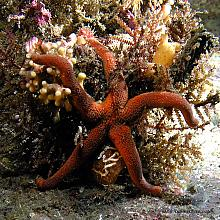 Fat Blood Star (Henricia sanguinolenta)
