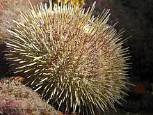 Green Sea Urchin (Strongylocentrotus droebachiensis)