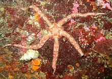 Painted Brittle Star (Ophiopholis aculeata)