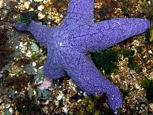Purple or Ochre Star (Pisaster ochraceus)