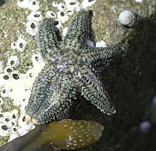 Six-Rayed Sea Star (Leptasterias hexactis)
