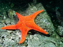 Vermillion Star (Mediaster aequalis) 1