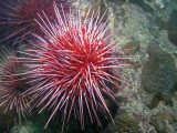 underwater photography urchin